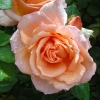 Picture of Angels Delight Std 80cm-Rose