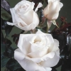 Picture of Remember Std 80cm-Rose