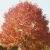 Picture of Fraxinus Cimmzan