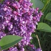 Picture of Syringa Double Purple