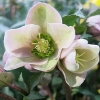 Picture of Helleborus Angel Glow