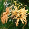Picture of Grevillea Deua Gold