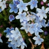 Picture of Lithodora Crystal Blue