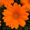 Picture of Gazania New Day Clear Orange