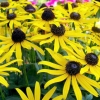 Picture of Rudbeckia Little Gold Star
