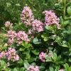 Picture of Escallonia Pink Elle
