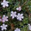 Picture of Serissa Pink Mystique