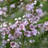 Picture of Thryptomene Paynes Hybrid