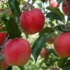 Picture of Apple Adore
