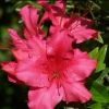 Picture of Azalea Red Wings