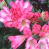 Picture of Rhododendron Apple Brandy