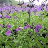 Picture of Salvia So Cool Violet