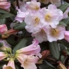 Picture of Rhododendron Countess Of Haddington