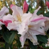 Picture of Rhododendron Fragrantissimum