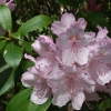 Picture of Rhododendron Mrs Charles E Pearson