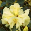 Picture of Rhododendron Parisienne
