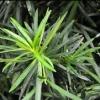 Picture of Podocarpus Macrophyllus