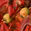 Picture of Malus Crabapple Trilobata