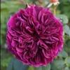 Picture of Prospero-Rose