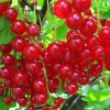 Picture of Currant Red Gloire de Versailles