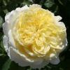 Picture of The Pilgrim-Rose