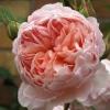 Picture of William Morris-Rose