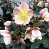 Picture of Helleborus Camelot