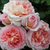 Picture of Abraham Darby-Rose