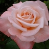 Picture of Aotearoa Std 80cm-Rose