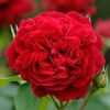 Picture of L D Braithwaite Std 80cm-Rose