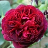 Picture of Othello-Rose