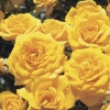Picture of Beehive Gold-Rose