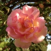 Picture of Souvenir de Mme Leonie Viennot Clg-Rose
