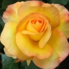 Picture of Sunline-Rose