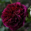 Picture of Tradescant-Rose
