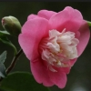 Picture of Camellia Scented Gem