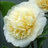 Picture of Camellia Jurys Yellow