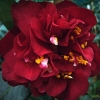 Picture of Camellia Maroon and Gold