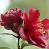 Picture of Camellia Night Rider Std