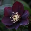 Picture of Helleborus Dark Hybrid