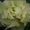 Picture of Helleborus Double Yellow Hybrid