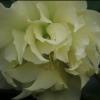 Picture of Helleborus Double Yellow Hybrid