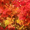 Picture of Acer October Glory
