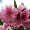 Picture of Prunus Blireana