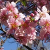 Picture of Prunus Puddum H/W 1.5