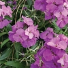 Picture of Erysimum Lilac Joy