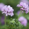 Picture of Geranium Attar of Roses