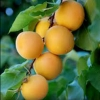 Picture of Apricot Dble Fitzroy/Moorpark