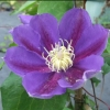 Picture of Clematis Melbourne Cup