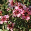 Picture of Leptospermum Centaurus